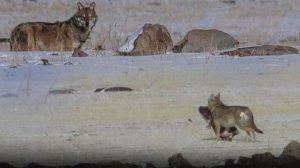Son dakika! Kars'ta aç kalan kurtlar yerleşim yerlerinde yiyecek aradı
